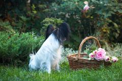 Beautiful dog of the Papillon breed Royalty Free Stock Image