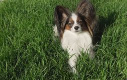 Beautiful dog Papillon lies on green lawn and looks stock photo
