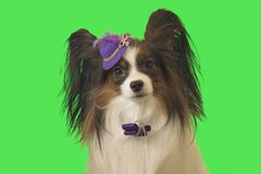Beautiful dog Papillon in purple hat with feather and bow on green background