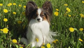 Beautiful dog Papillon sitting on green lawn with dandelions stock photo