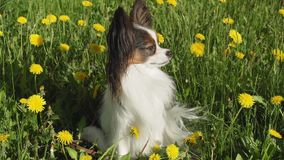 Beautiful dog Papillon sitting on green lawn with dandelions royalty free stock images