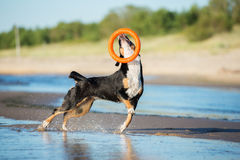 Beautiful dog playing on the beach Stock Images