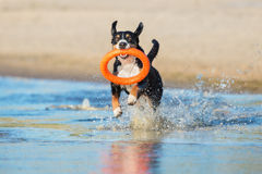 Free Beautiful Dog Playing On The Beach Royalty Free Stock Photos - 96976268