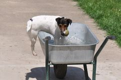 Dog in water. Beautiful dog playing  with tennis ball in water in improvised pool Stock Images