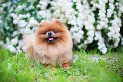 Beautiful dog. Pomeranian dog near blossoming white bush. Pomeranian dog in a park. Adorable dog. Happy dog Stock Image