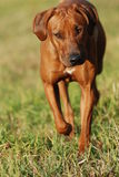 Beautiful dog portrait. Front view of beautiful rhodesian ridgeback Stock Photos