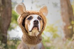 Beautiful dog portrait in bear hat photographed outdoors. Cute s. Taffordshire terrier sits in wild animal costume in sunny meadow royalty free stock images