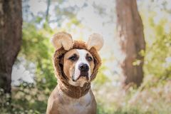 Beautiful dog portrait in bear hat photographed outdoors. Cute s. Taffordshire terrier sits in wild animal costume in sunny meadow stock image
