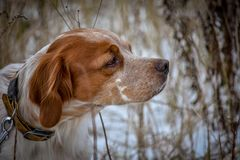 Beautiful dog. Portrait. Epagneul Breton. Brittany Spaniel. Fall royalty free stock images