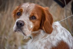 Beautiful dog. Portrait. Epagneul Breton. Brittany Spaniel. Fall time royalty free stock photos