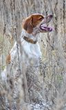 Beautiful dog. Portrait. Epagneul Breton. Brittany Spaniel. Fall time stock photos