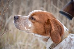 Beautiful dog. Portrait of hunting dog Epagneul Breton. Brittany Spaniel. Fall time stock images
