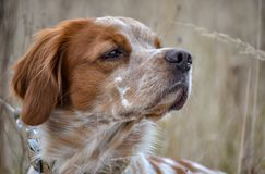 Beautiful dog. Portrait of hunting dog Epagneul Breton. Brittany Spaniel. Hunting season time. Beautiful dog. Portrait of hunting dog Epagneul Breton. Brittany royalty free stock photography