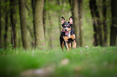 Beautiful dog portrait in the middle of the forrest in spring Royalty Free Stock Photos