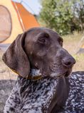 Beautiful dog. Portreit. German short haired pointer. stock photos