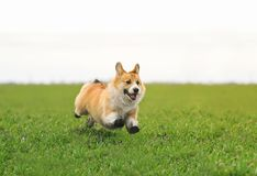 Beautiful dog puppy Corgi runs fast on green grass in spring glade with green young grass funny opening his mouth and throwing. Beautiful red dog puppy Corgi royalty free stock photos