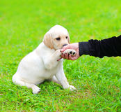 Beautiful dog puppy Labrador Retriever gives the paw owner Royalty Free Stock Image