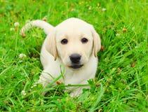 Beautiful dog puppy Labrador Retriever lying resting Royalty Free Stock Photos