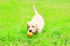 Beautiful dog puppy Labrador Retriever is playing with a rubber ball on a grass Stock Image