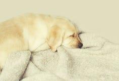 Beautiful dog puppy Labrador Retriever sleeping Stock Photos