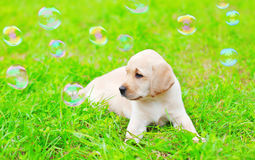 Beautiful dog puppy Labrador Retriever with soap bubbles is lying on grass Stock Photos