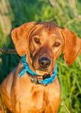 Beautiful dog rhodesian ridgeback Royalty Free Stock Photos