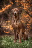 Beautiful dog rhodesian ridgeback hound outdoors. On a forest background Stock Photography