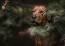 Beautiful dog rhodesian ridgeback hound outdoors Stock Photo