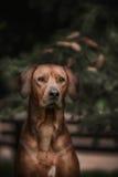 Beautiful dog rhodesian ridgeback hound outdoors Stock Photos