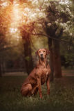 Beautiful dog rhodesian ridgeback hound outdoors. On a forest background Royalty Free Stock Images