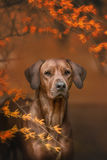 Beautiful dog rhodesian ridgeback hound outdoors. On a forest background Stock Image