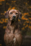 Beautiful dog rhodesian ridgeback hound outdoors Royalty Free Stock Photo