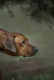 Beautiful dog rhodesian ridgeback hound outdoors. On a forest background Stock Images