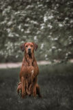 Beautiful dog rhodesian ridgeback hound outdoors. On a forest background Stock Photo