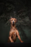 Beautiful dog rhodesian ridgeback hound outdoors. On a forest background Royalty Free Stock Photography