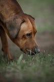 Beautiful dog rhodesian ridgeback hound outdoors Stock Photography