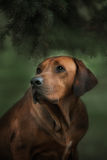 Beautiful dog rhodesian ridgeback hound outdoors. On a forest background Stock Photos