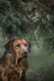 Beautiful dog rhodesian ridgeback hound outdoors Stock Images