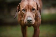 Beautiful dog rhodesian ridgeback hound outdoors Royalty Free Stock Photos
