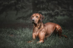 Beautiful dog rhodesian ridgeback hound outdoors. On a forest background Royalty Free Stock Image