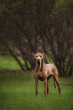 Beautiful dog rhodesian ridgeback hound outdoors. On a forest background Royalty Free Stock Photos