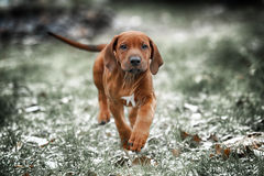 Beautiful dog rhodesian ridgeback. Hound puppy outdoors on a field Royalty Free Stock Images