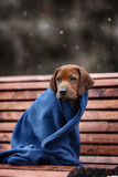 Beautiful dog rhodesian ridgeback. Hound puppy outdoors on a field Royalty Free Stock Photography