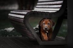 Beautiful dog rhodesian ridgeback. Hound puppy outdoors on a field Stock Photos
