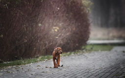Beautiful dog rhodesian ridgeback. Hound puppy outdoors on a field Royalty Free Stock Image