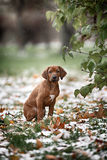 Beautiful dog rhodesian ridgeback. Hound puppy outdoors on a field Stock Photo