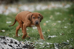 Beautiful dog rhodesian ridgeback. Hound puppy outdoors on a field Stock Images