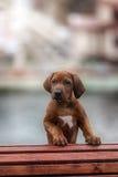 Beautiful dog rhodesian ridgeback. Hound puppy outdoors on a field Royalty Free Stock Photos