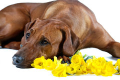 Beautiful dog rhodesian ridgeback laying in yellow flowers isola Stock Image