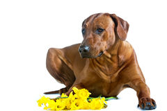 Beautiful dog rhodesian ridgeback laying in yellow flowers isola. Beautiful dog rhodesian ridgeback laying in a bunch of cpring yellow daffodils flowers  on Stock Photos